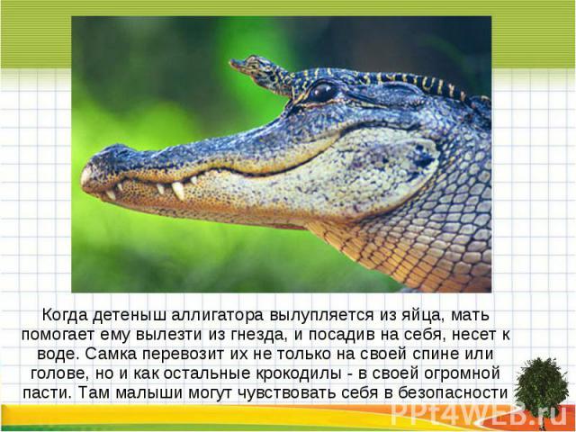 Когда детеныш аллигатора вылупляется из яйца, мать помогает ему вылезти из гнезда, и посадив на себя, несет к воде. Самка перевозит их не только на своей спине или голове, но и как остальные крокодилы - в своей огромной пасти. Там малыши могут чувст…