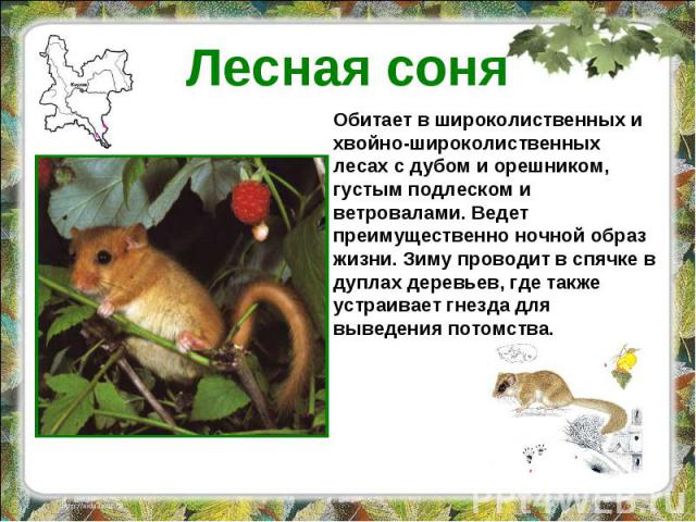 Лесная соня Обитает в широколиственных и хвойно-широколиственных лесах с дубом и орешником, густым подлеском и ветровалами. Ведет преимущественно ночной образ жизни. Зиму проводит в спячке в дуплах деревьев, где также устраивает гнезда для выведения…