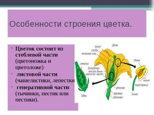 Особенности строения цветка. Цветок состоит из стеблевой части (цветоножка и цве