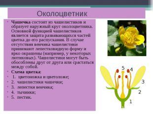 Околоцветник Чашечка состоит из чашелистиков и образует наружный круг околоцветн