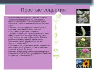 Простые соцветия Основной вариант простых соцветий — кисть. Если нижние цветонож