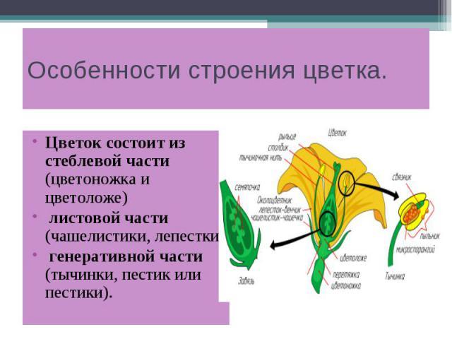Особенности строения цветка. Цветок состоит из стеблевой части (цветоножка и цветоложе) листовой части (чашелистики, лепестки) генеративной части (тычинки, пестик или пестики).