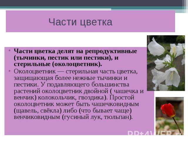 Части цветка Части цветка делят на репродуктивные (тычинки, пестик или пестики), и стерильные (околоцветник). Околоцветник — стерильная часть цветка, защищающая более нежные тычинки и пестики. У подавляющего большинства растений околоцветник двойной…
