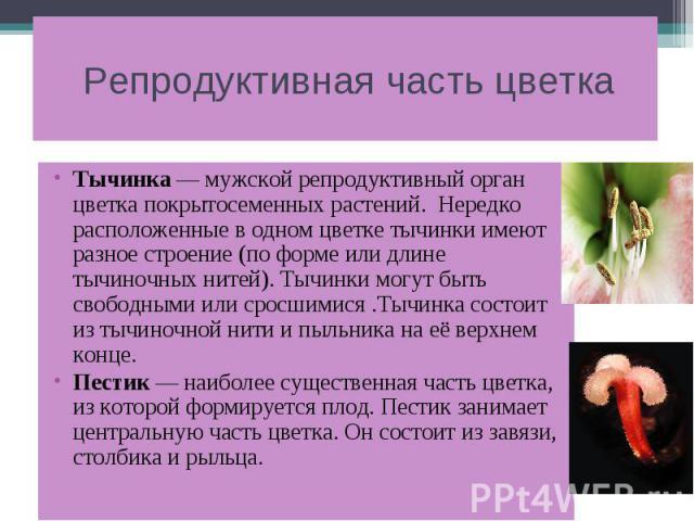 Репродуктивная часть цветка Тычинка — мужской репродуктивный орган цветка покрытосеменных растений. Нередко расположенные в одном цветке тычинки имеют разное строение (по форме или длине тычиночных нитей). Тычинки могут быть свободными или сросшимис…
