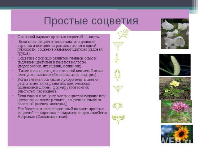 Простые соцветия Основной вариант простых соцветий — кисть. Если нижние цветоножки намного длиннее верхних и все цветки располагаются в одной плоскости, соцветие называют щитком (садовая груша). Соцветие с хорошо развитой главной осью и сидячими цве…