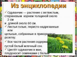 Из энциклопедии Одуванчик— растение с ветвистым, стержневым корнем толщиной око
