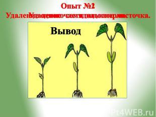 Опыт №2 Удаление одного семядольного листочка.