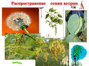 Распространение семян ветром