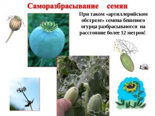 Саморазбрасывание семян При таком «артиллерийском обстреле» семена бешеного огур