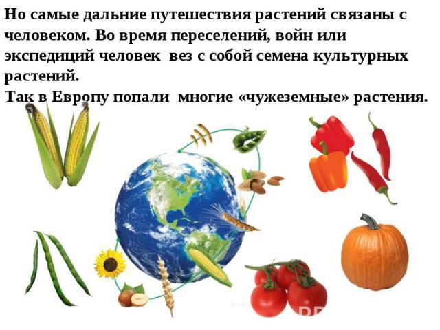 Но самые дальние путешествия растений связаны с человеком. Во время переселений, войн или экспедиций человек вез с собой семена культурных растений. Так в Европу попали многие «чужеземные» растения.