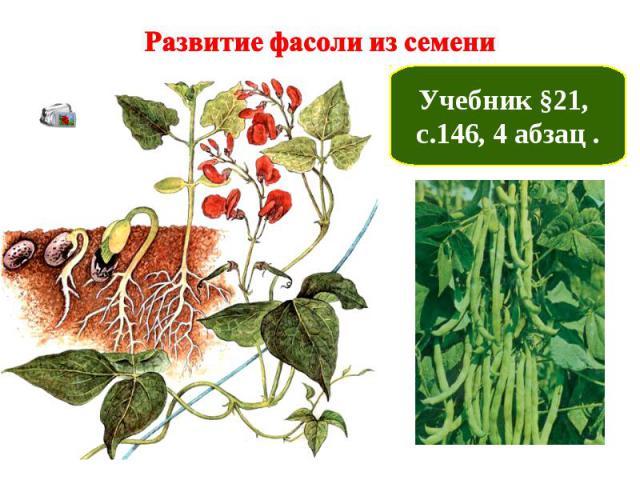 Развитие фасоли из семени Учебник §21, с.146, 4 абзац .