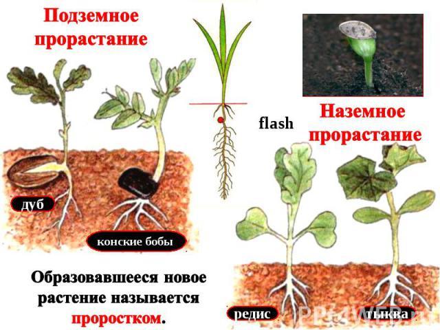 Подземное прорастание Наземное прорастание Образовавшееся новое растение называется проростком.