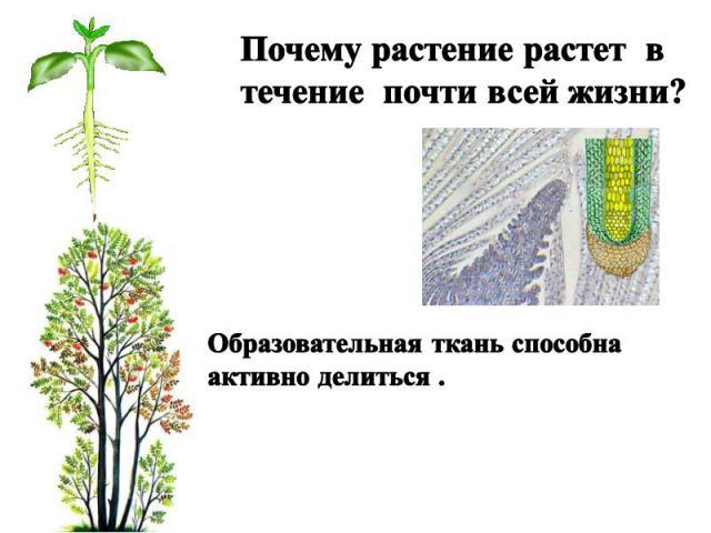 Почему растение растет в течение почти всей жизни? Образовательная ткань способна активно делиться .