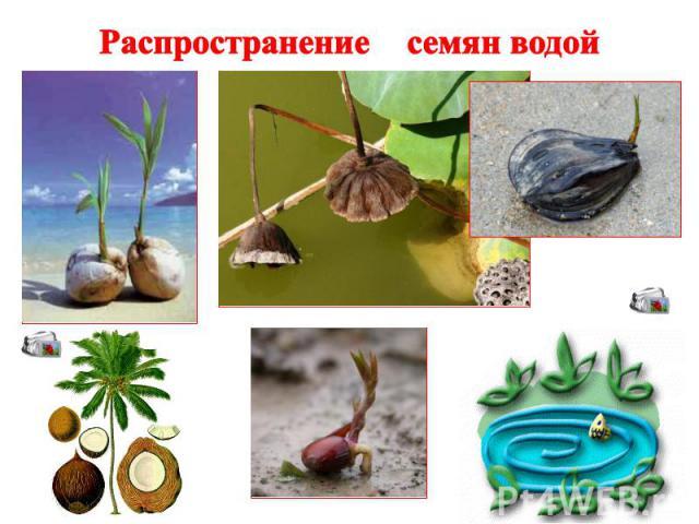 Распространение семян водой
