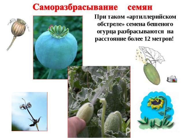 Саморазбрасывание семян При таком «артиллерийском обстреле» семена бешеного огурца разбрасываются на расстояние более 12 метров!