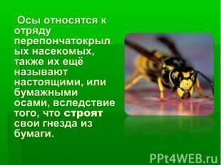 Осы относятся к отряду перепончатокрылых насекомых, также их ещё называют настоя