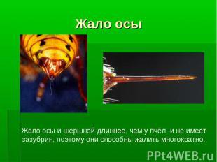 Жало осы Жало осы и шершней длиннее, чем у пчёл, и не имеет зазубрин, поэтому он