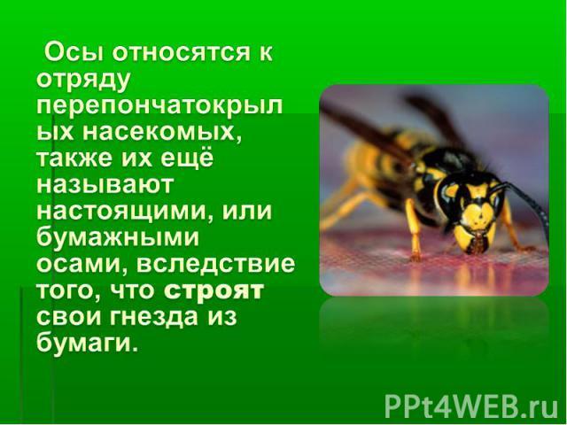 Осы относятся к отряду перепончатокрылых насекомых, также их ещё называют настоящими, или бумажными осами, вследствие того, что строят свои гнезда из бумаги.
