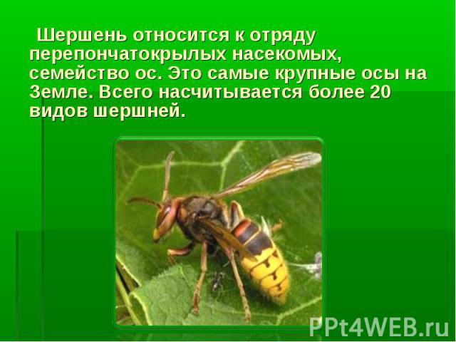 Шершень относится к отряду перепончатокрылых насекомых, семейство ос. Это самые крупные осы на Земле. Всего насчитывается более 20 видов шершней.