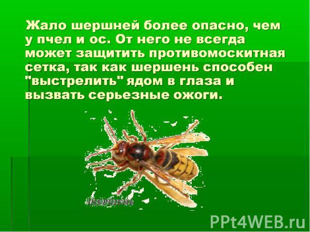 Жало шершней более опасно, чем у пчел и ос. От него не всегда может защитить противомоскитная сетка, так как шершень способен