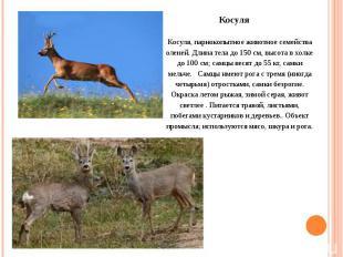 Косуля, парнокопытное животное семейства оленей. Длина тела до 150 см, высота в