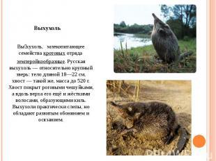 Вы хухоль, млекопитающее семействакротовыхотряда землеройкообразные. Русская