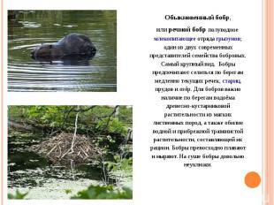 Обыкновенный бобр, илиречной бобр полуводноемлекопитающееотрядагрызунов; оди