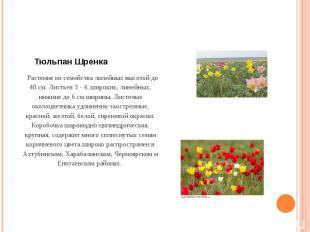 Тюльпан Шренка Растение из семейства лилейных высотой до 40 см. Листьев 3 - 4,