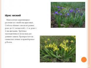 Ирис низкий Многолетнее корневищное растение из семейства ирисовых. Стебель обыч