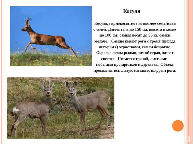 Косуля, парнокопытное животное семейства оленей. Длина тела до 150 см, высота в холке до 100 см; самцы весят до 55 кг, самки мельче. Самцы имеют рога с тремя (иногда четырьмя) отростками, самки безрогие. Окраска летом рыжая, зимой серая, живот светл…