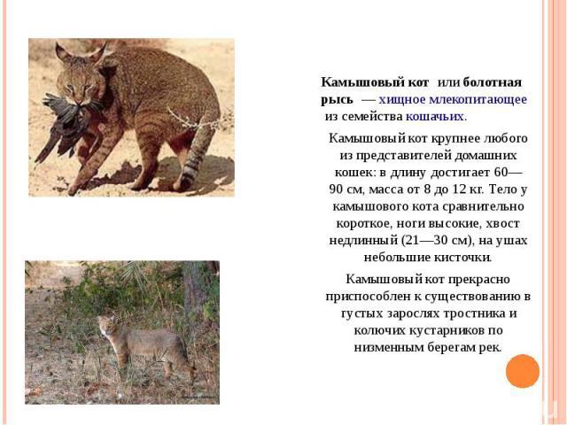 Камышовый кот илиболотная рысь —хищноемлекопитающееиз семействакошачьих. Камышовый кот крупнее любого из представителей домашних кошек: в длину достигает 60—90см, масса от 8 до 12кг. Тело у камышового кота сравнительно короткое, ноги высокие…