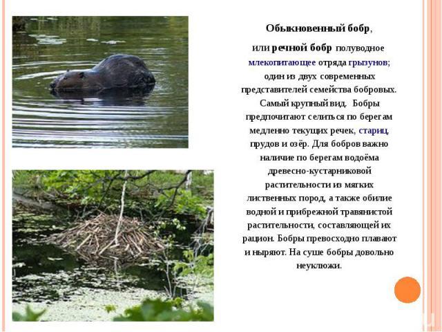 Обыкновенный бобр, илиречной бобр полуводноемлекопитающееотрядагрызунов; один из двух современных представителей семейства бобровых. Самый крупный вид. Бобры предпочитают селиться по берегам медленно текущих речек,стариц, прудов и озёр. Для боб…
