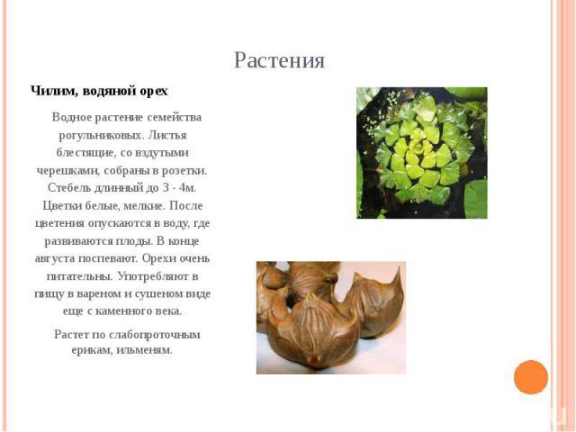 Чилим, водяной орех Водное растение семейства рогульниковых. Листья блестящие, со вздутыми черешками, собраны в розетки. Стебель длинный до 3 - 4м. Цветки белые, мелкие. После цветения опускаются в воду, где развиваются плоды. В конце августа поспев…