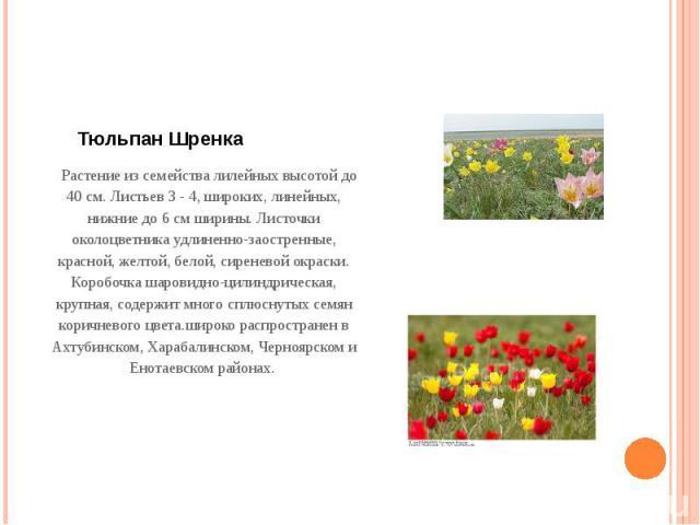 Тюльпан Шренка Растение из семейства лилейных высотой до 40 см. Листьев 3 - 4, широких, линейных, нижние до 6 см ширины. Листочки околоцветника удлиненно-заостренные, красной, желтой, белой, сиреневой окраски. Коробочка шаровидно-цилиндрическая, к…