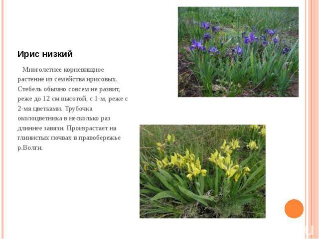 Ирис низкий Многолетнее корневищное растение из семейства ирисовых. Стебель обычно совсем не развит, реже до 12 см высотой, с 1-м, реже с 2-мя цветками. Трубочка околоцветника в несколько раз длиннее завязи. Произрастает на глинистых почвах в правоб…