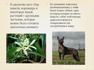 Из домашних животных (млекопитающих) у майя были только собаки, одна из пород ко