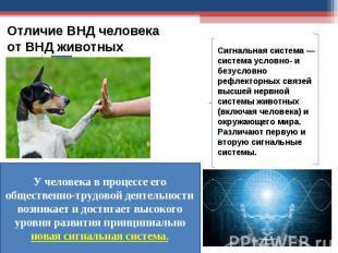 Отличие ВНД человека от ВНД животных У человека в процессе его общественно-трудо