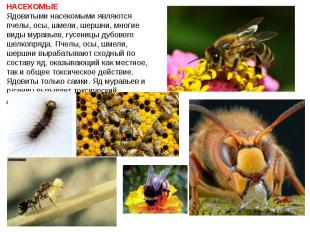 НАСЕКОМЫЕ Ядовитыми насекомыми являются пчелы, осы, шмели, шершни, многие виды м