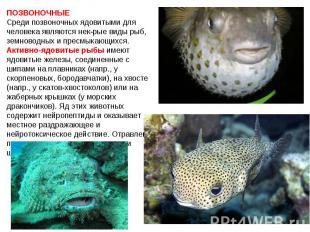 ПОЗВОНОЧНЫЕ Среди позвоночных ядовитыми для человека являются нек-рые виды рыб,