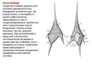 ПРОСТЕЙШИЕ Среди простейших ядовиты для человека динофлагеллаты (панцирные жгути