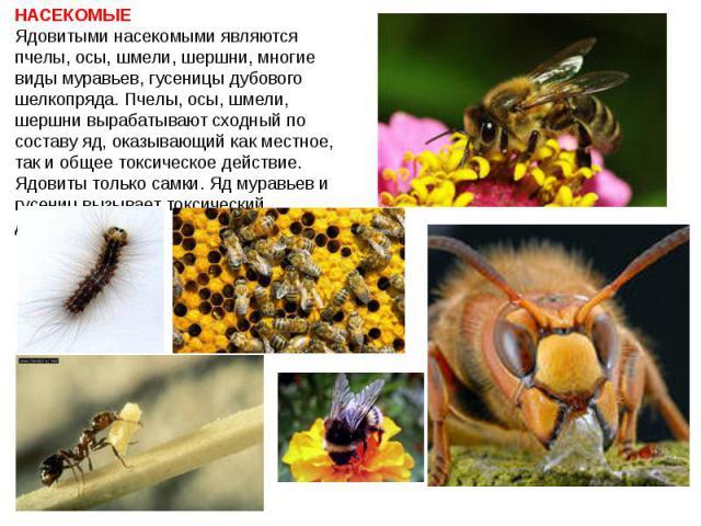 НАСЕКОМЫЕ Ядовитыми насекомыми являются пчелы, осы, шмели, шершни, многие виды муравьев, гусеницы дубового шелкопряда. Пчелы, осы, шмели, шершни вырабатывают сходный по составу яд, оказывающий как местное, так и общее токсическое действие. Ядовиты т…