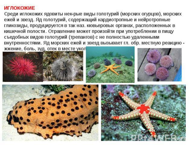 ИГЛОКОЖИЕ Среди иглокожих ядовиты нек-рые виды голотурий (морских огурцов), морских ежей и звезд. Яд голотурий, содержащий кардиотропные и нейротропные гликозиды, продуцируется в так наз. кювьеровых органах, расположенных в кишечной полости. Отравле…