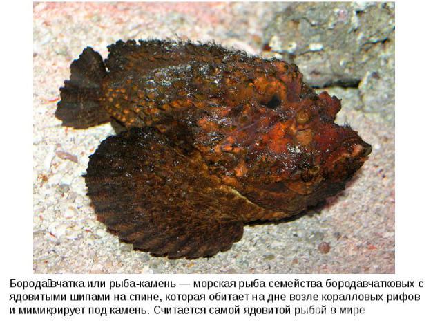 Борода вчатка или рыба-камень — морская рыба семейства бородавчатковых с ядовитыми шипами на спине, которая обитает на дне возле коралловых рифов и мимикрирует под камень. Считается самой ядовитой рыбой в мире