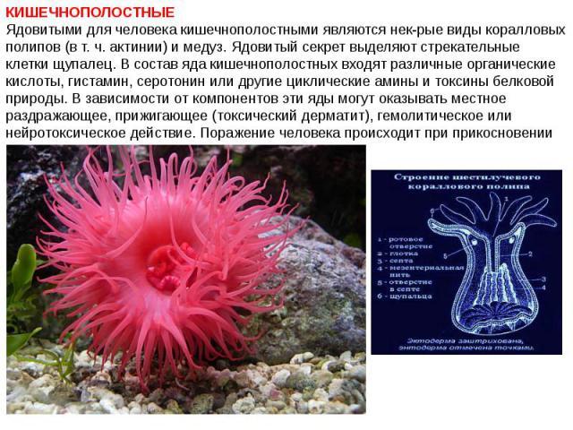 КИШЕЧНОПОЛОСТНЫЕ Ядовитыми для человека кишечнополостными являются нек-рые виды коралловых полипов (в т. ч. актинии) и медуз. Ядовитый секрет выделяют стрекательные клетки щупалец. В состав яда кишечнополостных входят различные органические кислоты,…