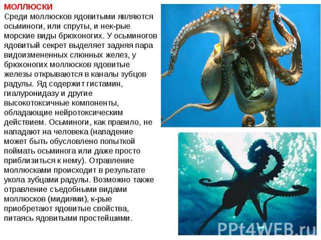 МОЛЛЮСКИ Среди моллюсков ядовитыми являются осьминоги, или спруты, и нек-рые морские виды брюхоногих. У осьминогов ядовитый секрет выделяет задняя пара видоизмененных слюнных желез, у брюхоногих моллюсков ядовитые железы открываются в каналы зубцов …