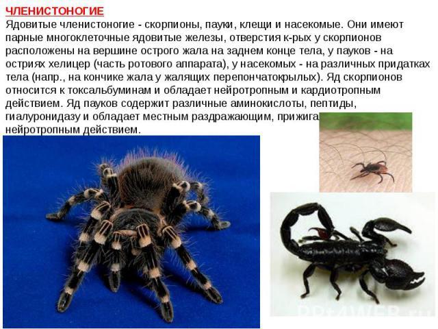 ЧЛЕНИСТОНОГИЕ Ядовитые членистоногие - скорпионы, пауки, клещи и насекомые. Они имеют парные многоклеточные ядовитые железы, отверстия к-рых у скорпионов расположены на вершине острого жала на заднем конце тела, у пауков - на остриях хелицер (часть …