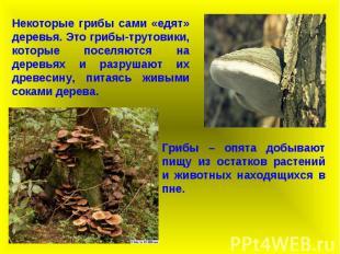 Некоторые грибы сами «едят» деревья. Это грибы-трутовики, которые поселяются на