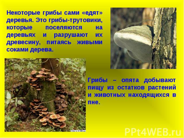 Некоторые грибы сами «едят» деревья. Это грибы-трутовики, которые поселяются на деревьях и разрушают их древесину, питаясь живыми соками дерева. Грибы – опята добывают пищу из остатков растений и животных находящихся в пне.