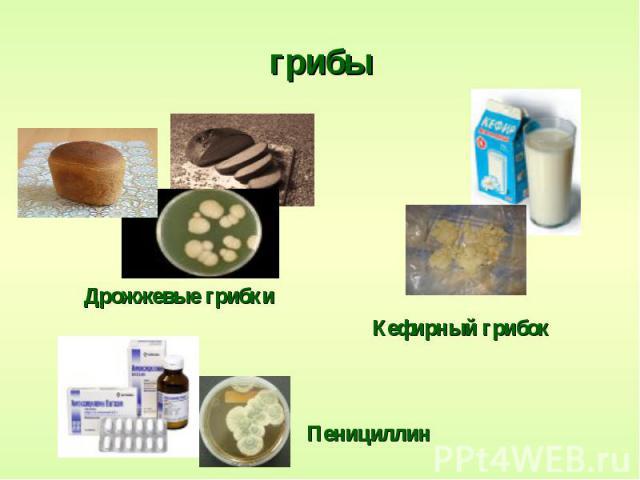 грибы Дрожжевые грибки Кефирный грибок Пенициллин