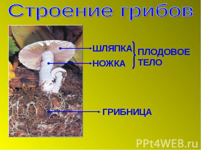 Строение грибов ШЛЯПКА НОЖКА ПЛОДОВОЕ ТЕЛО ГРИБНИЦА